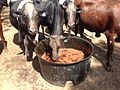 Cows eating molasses and Progardes desmanthus seed, for faecal seeding 2014-08-09 10-04.jpg