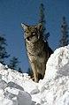 Coyote059 (26331181823).jpg