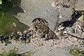 Crab (42644547081).jpg