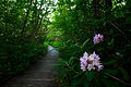 Cranberry-glades-rhododendron - West Virginia - ForestWander.jpg