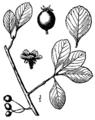 Crataegus berberifolia.png
