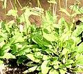 Crepis paludosa ENBLA02.jpeg
