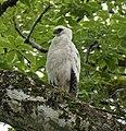 Crested Eagle immature - Darién - Panama (48439740647).jpg