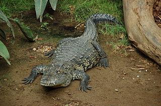 Morelets crocodile species of reptile