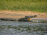 Crocodylus niloticus6.jpg