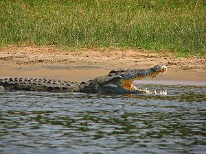 תנין יאור שוחה בנהר כשפיו פעור