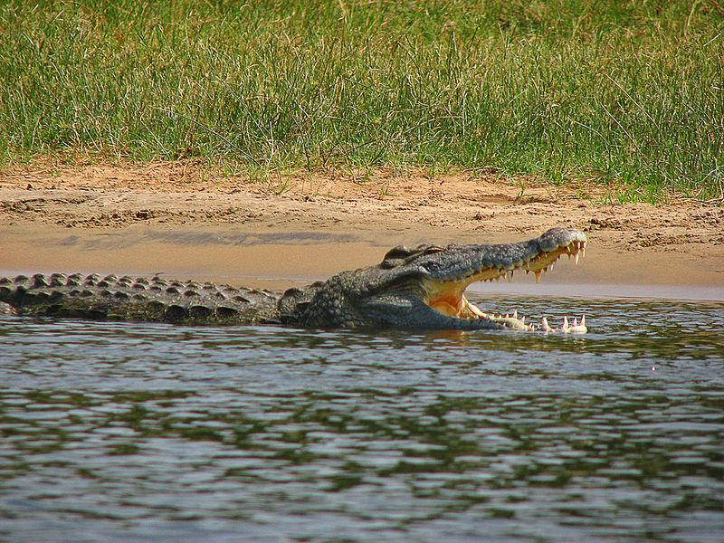 تمساح النيل .. معلومات هامه عن تمساح النيل الافريقي