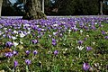 Crocuses at Madresfield Court - geograph.org.uk - 1764740.jpg