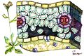 Cross section of Arabidopsis thaliana, a C3 plant..jpg