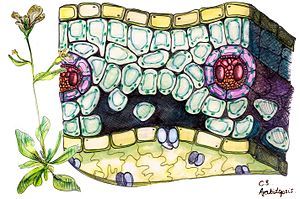 C3 carbon fixation - Cross section of a C3 plant, specifically of an Arabidopsis thaliana leaf. Vascular bundles shown. Drawing based on microscopic images courtesy of Cambridge University Plant Sciences Department.