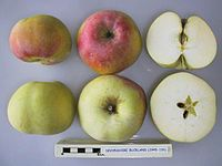 Cross section of Devonshire Buckland, National Fruit Collection (acc. 1945-155).jpg