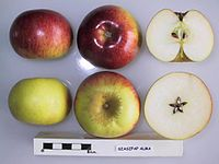Cross section of Szaszpap Alma, National Fruit Collection (acc. 1948-403).jpg