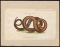 Crotalus dryinas - 1802 - Print - Iconographia Zoologica - Special Collections University of Amsterdam - UBA01 IZ11700021.tif
