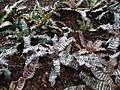 CryptanthusZonatusZebrinus.jpg