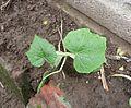 Cucurbita argyrosperma Calabaza rayada semillería Florensa - 2014 09 02 plant 1 - plántula sembrada bajo techo el 30 julio.jpg