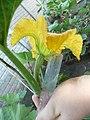 Cucurbita moschata (zapallo espontáneo) flor femenina F02 antesis vista lateral-inferior (trasera) cáliz sépalos pétalos nerviación mucrón regla.JPG