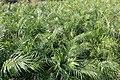 Cultivation of Phoenix Roebelenii in Hachijo Island 02.jpg