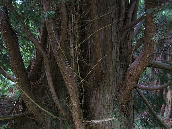 Tailler des cypr s de leyland mal partis au jardin d 39 ornement - Tailler les cypres de leyland ...