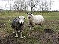 Curious Sheep and a molehill - geograph.org.uk - 726516.jpg