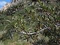 Curlleaf mountain mahogany, Cercocarpus ledifolius var. intermontanus (24132643726).jpg
