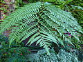 Cyathea medularis 2.JPG