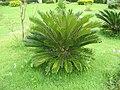 Cycas revolutaRHu1.JPG