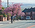 Cyclist and Cherry Trees - geograph.org.uk - 922234.jpg