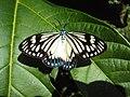 Cyclosia papilionaris - Drury's Jewel - at Peravoor (1).jpg