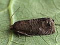 Cydia pyrivora - Pear fruit moth - Плодожорка грушевая (40567794504).jpg