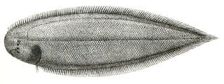 <i>Cynoglossus quadrilineatus</i> species of Actinopterygii