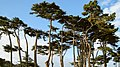 Cypress Trees, Land's End, San Francisco (1994812566).jpg