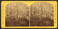 Cypress swamp, from Robert N. Dennis collection of stereoscopic views.png