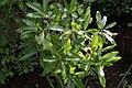 Cyrilla racemiflora 15zz.jpg