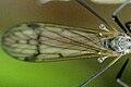 Dactylolabis.sexmaculata9.-.lindsey.jpg