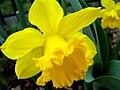 Daffodills (Narcissus) - 25.jpg