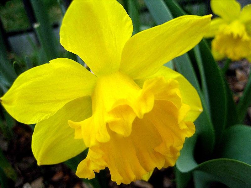Image:Daffodills (Narcissus) - 25.jpg