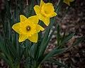 Daffodils, Minneapolis (34475977200).jpg