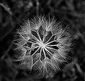 Dandelion - 27492477316.jpg