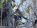 Dark-throated Thrush (Turdus ruficollis) (15709070617).jpg