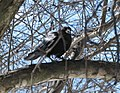 Dartmouth crow (429924361).jpg