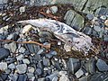 Dead marine animal on the beach - geograph.org.uk - 658549.jpg