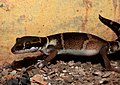 Deccan Banded Gecko Geckoella deccanensis by Dr. Raju Kasambe DSCN7960 (45).jpg