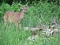 Deer (edc996893bde4f119e196c4fc77ec72b).JPG