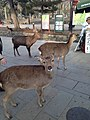 Deers near Todaiji.jpg
