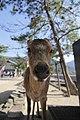 Deeru (6969734730).jpg
