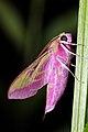 Deleiphila elpenor 004.JPG