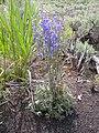 Delphinium andersonii (4411759223).jpg