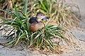 Dendrocygna javanica (Lesser Whistling Duck - Zwergpfeifgans) Weltvogelpark Walsrode 2012-010.jpg