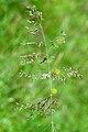 Deschampsia.flexuosa5.-.lindsey.jpg