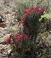 Desert Broom (Cadaba aphylla) (32741481056).jpg